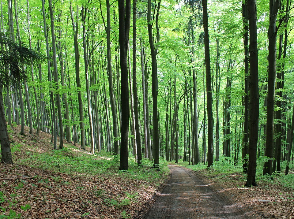 bukový les