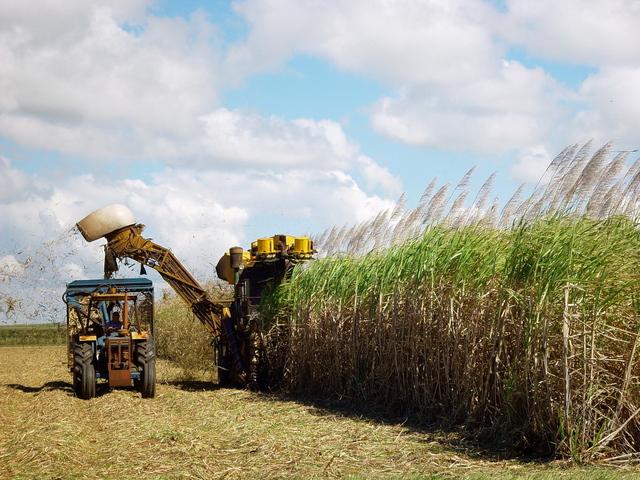 pole cukrové třtiny při sklizni